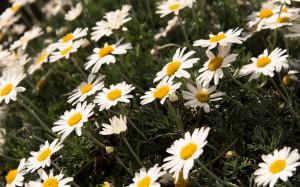 Daisies (Im Botanischen Garten)
